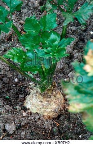 Le céleri-rave (Apium graveolens var. rapaceum), potager Banque D'Images
