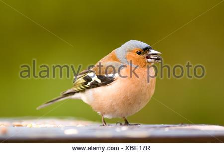 Un pinson mâle sur un tableau d'oiseaux Banque D'Images