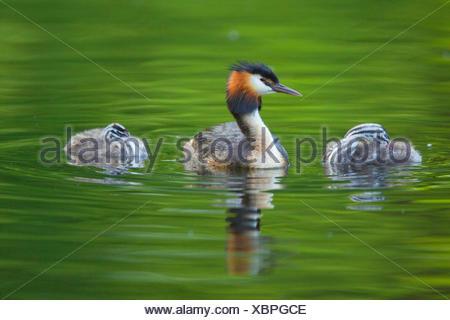 Grèbe huppé (Podiceps cristatus), d'oiseaux adultes avec deux jeunes animaux sur l'eau, de l'Allemagne Banque D'Images