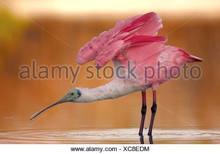 Roseate spoonbill (Ajaia ajaia), sur l'alimentation en eau peu profonde, USA, Floride Banque D'Images