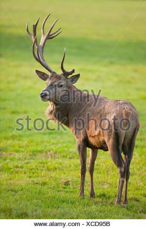 Red Deer (Cervus elaphus) avec bois anormal après une blessure au Velvet, captive, Bavière, Allemagne Banque D'Images