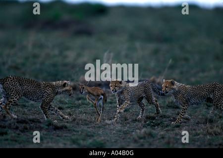 Afrique Kenya Masai Mara Cheetah cub Acinonyx jubatas chase Gazelle Thomsons fawn sur savanna Banque D'Images
