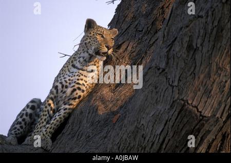 Botswana Moremi mâle adulte Panthera pardus léopard allumé par un coucher de soleil dans l'arbre près de la rivière Banque D'Images