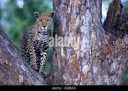 Botswana Moremi mâle adulte Panthera pardus léopard se trouve dans l'arbre près de la rivière Khwai au crépuscule Banque D'Images