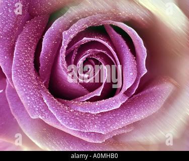 FLORAL DESIGN: English Rose (lat: rosa007) Banque D'Images
