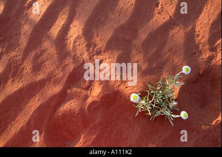 Une fleur pousse dans le sable rouge, Simpson Desert, Territoire du Nord, Australie Banque D'Images