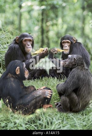 Les chimpanzés mangent ensemble Banque D'Images