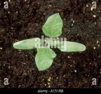 Lampourde épineuse Xanthium spinosum plantule à deux premières vraies feuilles Banque D'Images