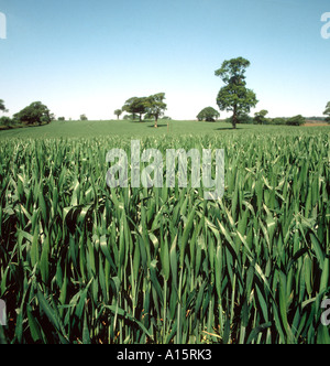 Lors de la récolte de blé de la feuille étendard d'arbres dans le champ derrière le beau jour d'été Banque D'Images
