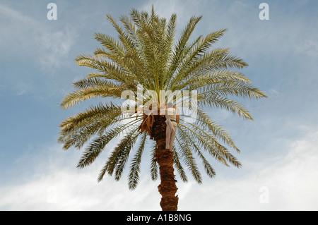 L'homme égyptien sur le haut d'un palmier en Égypte les dates de récolte Banque D'Images