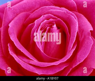 Flore: English Rose Rouge (lat: rosa007) Banque D'Images