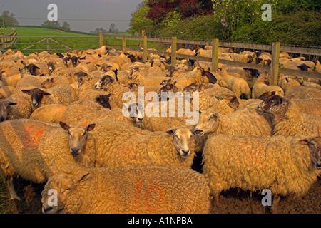 Les moutons attendent d'être cisaillé à Milton on Stour, Dorset, Angleterre