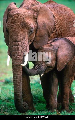Bébé éléphant avec petit parc national de Serengeti en Tanzanie Banque D'Images