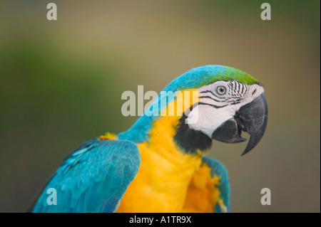 Ara bleu et jaune nr Manaus Amazonas Brésil etat Banque D'Images
