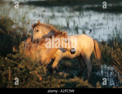 Deux poulains jouant chevaux camargue