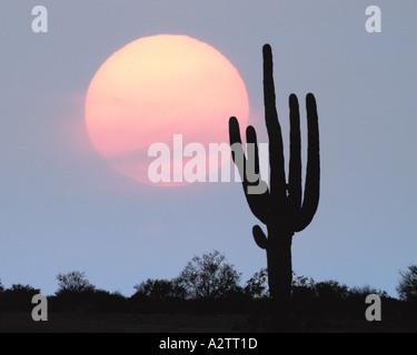 USA - ARIZONA: cactus géant saguaro Banque D'Images