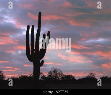 USA- ARIZONA: cactus géant saguaro Banque D'Images