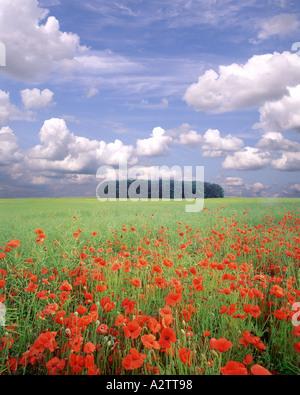 Go - GLOUCESTERSHIRE: Poppyfield dans les Cotswolds Banque D'Images