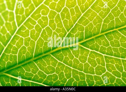 feuille verte Banque D'Images