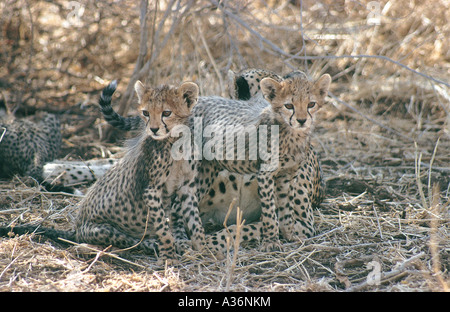Deux petits oursons cheetah environ trois semaines assis près de leur mère dans la réserve nationale de Samburu, Banque D'Images