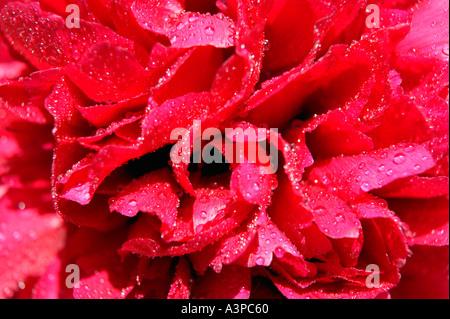 Fleur de pivoine ROUGE AVEC DES GOUTTELETTES D'EAU SUR LES PÉTALES DANS CLOSE UP Banque D'Images