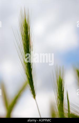 La culture du blé dans la région de field, dessous vue, close-up Banque D'Images