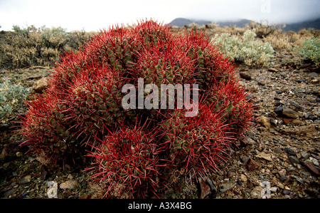 La botanique, l'cactii, (Cactaceae), Ferocactus, Fishhook Barrel Cactus, Ferocactus wislizenii (rouge), crampons, Banque D'Images