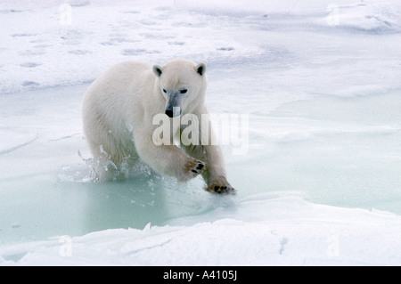 Ours blanc Ursus maritimus sautant au chenal de marée Cape Churchill Canada Banque D'Images