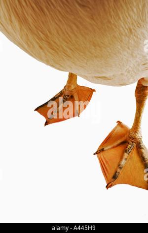 Le pélican blanc. Pelecanus onocrotalus. De grands oiseaux qui vivent en colonies. Avez orteils palmés et aplati Banque D'Images