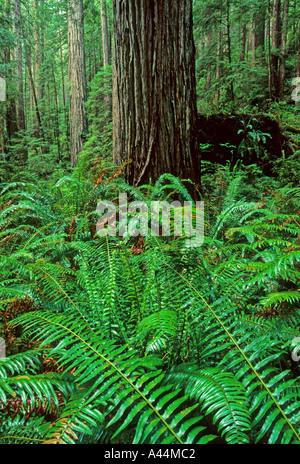 Les vieux peuplements de bois rouge Sequoia sempervirens Prairie Creek Redwoods State Park California USA Banque D'Images