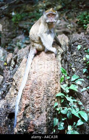 Thai singes, Krabi, Thaïlande