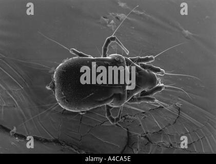 Image au microscope électronique à balayage d'acarien Banque D'Images