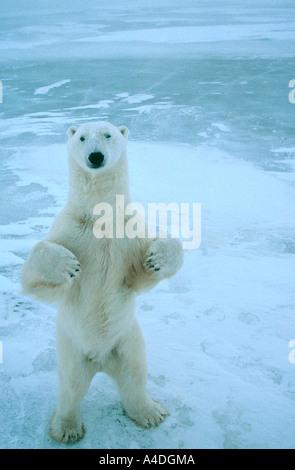 L'ours blanc, Ursus maritimus, debout sur la glace de mer au cap Churchill, Canada Banque D'Images