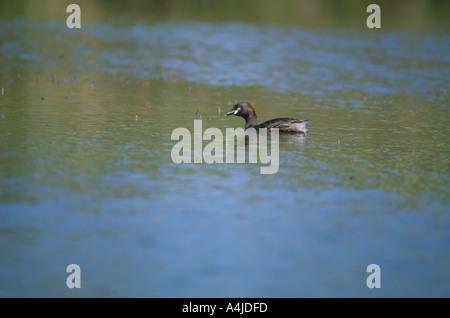 Australasian grebe Tachybaptus novaehollandiae nager dans l'étang l'Australie du Sud Banque D'Images