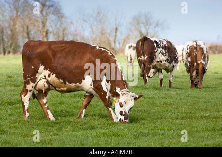 Normande vaches qui paissent dans un champ Normandie France Europe Banque D'Images