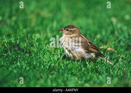 Moineau domestique Passer domesticus sur l'herbe avec des plumes ébouriffées en plein soleil Banque D'Images