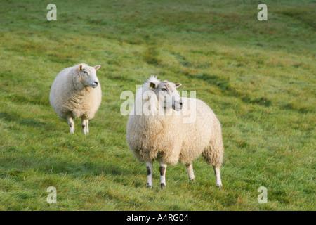 Moutons sur la Hill Farm dans le Yorkshire Dales Banque D'Images