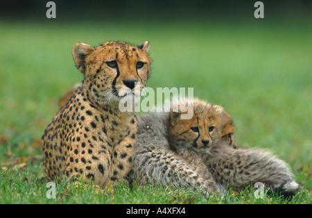 Le Guépard (Acinonyx jubatus), le guépard avec 3 mois cub Banque D'Images