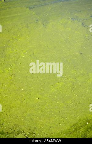 Forte croissance des cyanobactéries (algues bleu-vert ) sur la surface de l'eau Banque D'Images