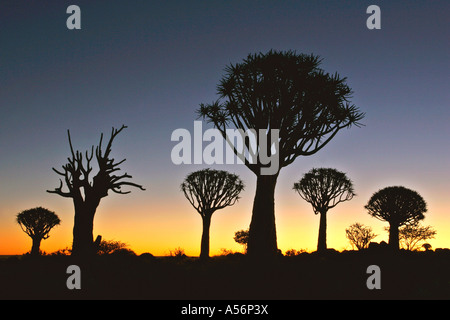 Koecherbaumwald Aloe dichotoma Keetmanshoop Namibie Afrika Quiver Tree Forest aloe dichotoma Keetmanshoop Namibie Banque D'Images