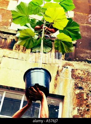 Couple passant une plante hors d'une fenêtre Banque D'Images