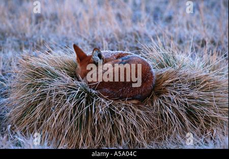 Loup Canis simensis éthiopien dormir couvertes par le gel au petit matin le Parc National des Montagnes de balle Banque D'Images