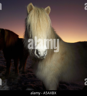 Cheval Pure race islandaise, manteau d'hiver, l'Islande