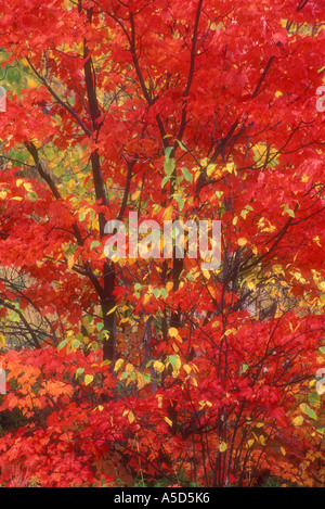 L'érable rouge (Acer rubrum) Crête automne couleur en érable avec feuillage bouleau argenté, le Grand Sudbury, Ontario, Banque D'Images
