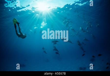 Fille de natation avec des dauphins sauvages, dauphins Stenella longirostris, longsnouted Banque D'Images