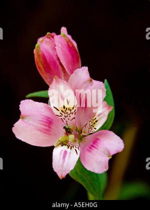 Fleur Rose Astroemeria et bud contre un fond noir Banque D'Images