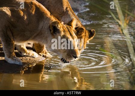 Les Lions d'alcool dans la réserve naturelle nationale de Masai Mara au Kenya Afrique de l'Est