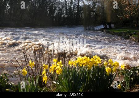 Les jonquilles sur le bord de la rivière Exe à Bickleigh dans le Devon Banque D'Images
