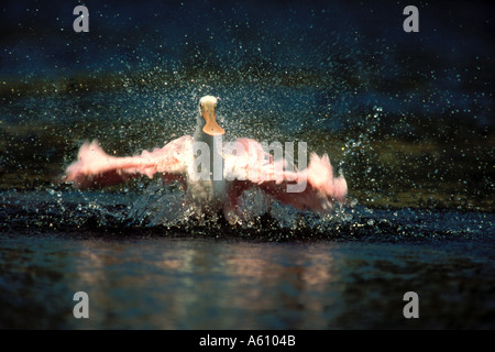 Roseate Spoonbill ailes étirement Ding Darling FLORIDA Banque D'Images