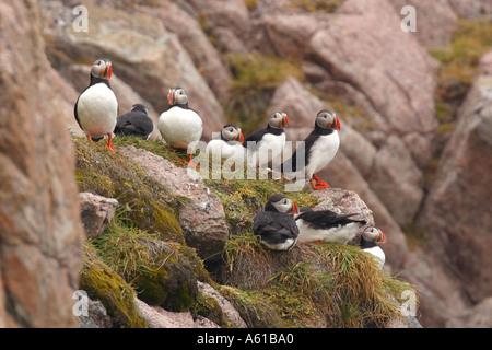 Les Macareux moines Thule Greenland Banque D'Images